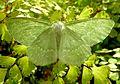Large Emerald. geometra papilionaria - Flickr - gailhampshire.jpg