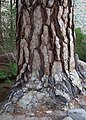 Large jeffrey pine Pinus jeffreyi trunk.jpg