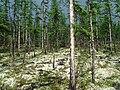 Larix gmelinii Kochechum.jpg