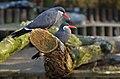 Larosterna inca (Inca Tern - Inkaseeschwalbe) Weltvogelpark Walsrode 2012-003.jpg