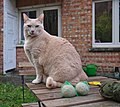 Larry the cat sitting on a table next to bird food balls in a backyard in Auderghem, Belgium (DSCF2352).jpg