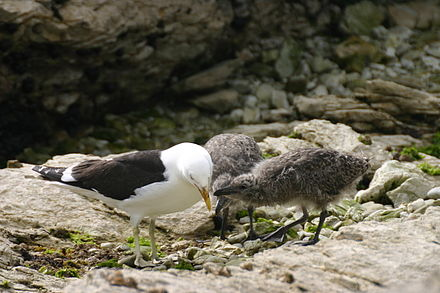 Kelp gull chicks peck at red spot on mother's beak to stimulate the regurgitating reflex. Larus Dominicanus with young.jpg