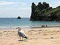 Larus argentatus Beauport beach.JPG