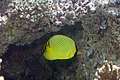 Latticed butterflyfish Chaetodon rafflesii (5849452940).jpg