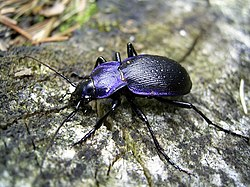 Blålöpare (Carabus problematicus)