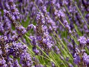 2008 Echter Lavendel