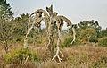 Le Cannet-des-Maures. Le viel arbres des Maures.JPG