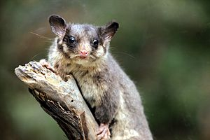 Eucalyptus regnans - A taxidermied male Leadbeater's possum