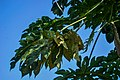 Leaves of a drying up.jpg