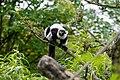 Lemur (26245239339).jpg