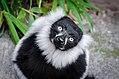 Lemur (26590614602).jpg