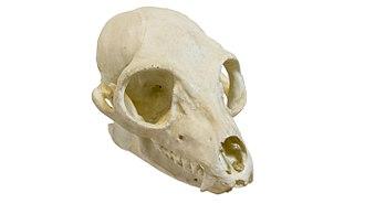 Ring-tailed lemur - Skull of a ring-failed lemur
