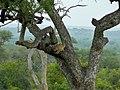 Leopard (Panthera pardus) (6041673328).jpg