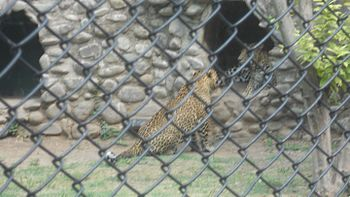 Leopard at Chhatbir zoo.jpg