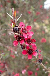 Leptospermum Scoparium Wikipedia
