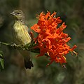 Lesser goldfinch (8064160520).jpg