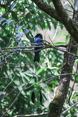 Lesser racket-tailed drongo in Nepal (1).jpg
