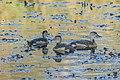 Lesser whistling duck (Dendrocygna javanica) 05.jpg