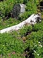 Lewis monkey flowers along dead tree. (41bbd947e8e1478bbd7471ffdfd46869).JPG