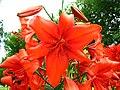 Lilium (red cultivar) 01.JPG