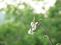 Lilium martagon var cattaniae credit Pavle Cikovac.jpg