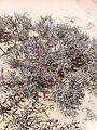 Limoniastrum guyonianum2 Tunisia.JPG
