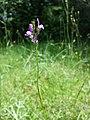 Linaria pelisseriana sl9.jpg