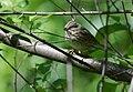 Lincoln's Sparrow (34176887950).jpg