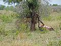 Lioness (Panthera leo) with killed wildebeest (12032541924).jpg