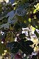 Liquidambar styraciflua Rotundiloba 6zz.jpg