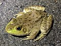 Lithobates catesbeianus on the road - 2.jpg
