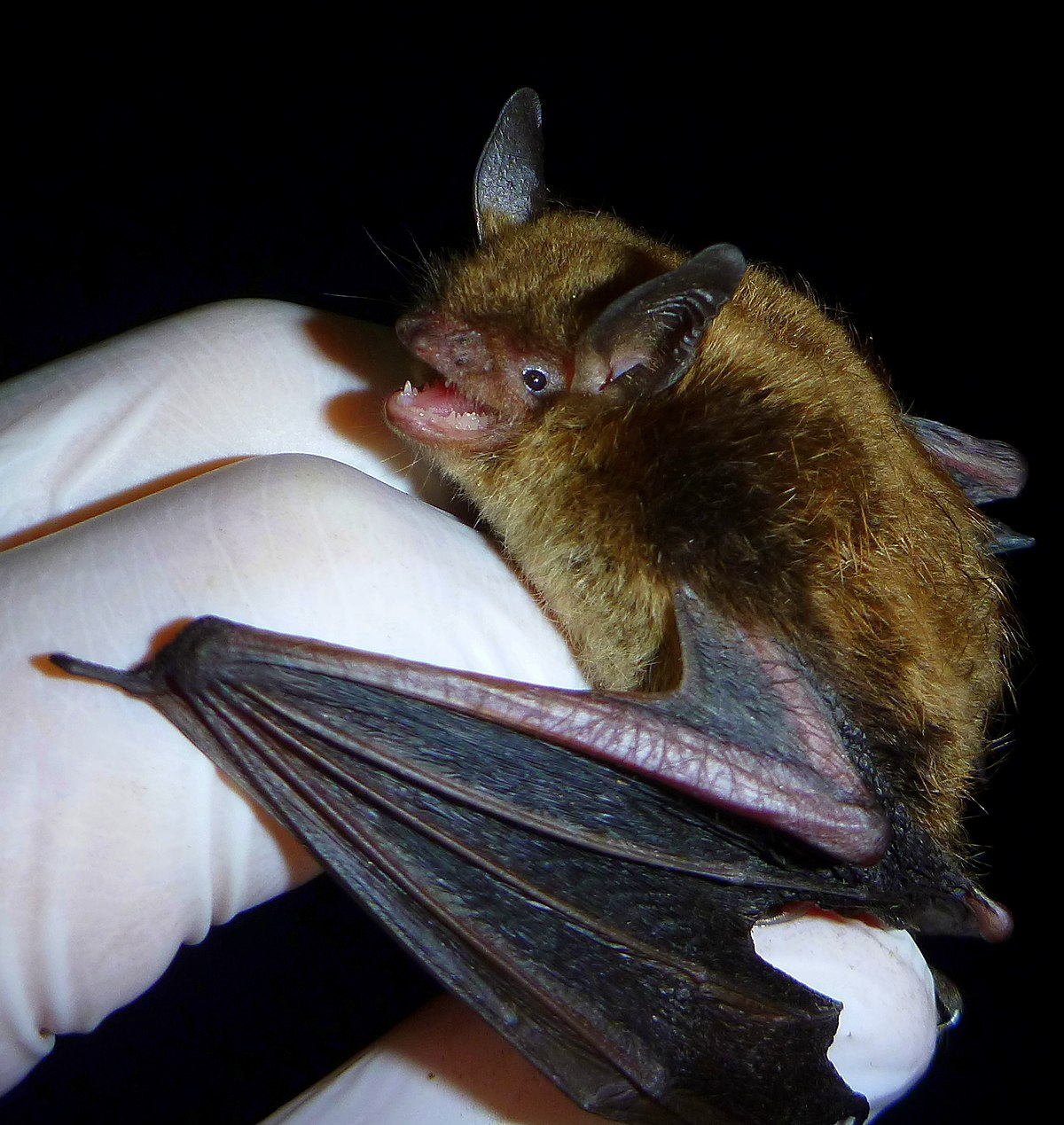 Little Brown Bat Wikipedia