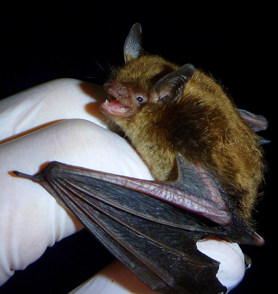 The average litter size of a Little brown bat is 1