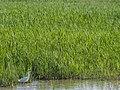 Little Egret (19156499148).jpg