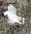 Little Egrets (Egretta garzetta) mating ... - Flickr - berniedup.jpg