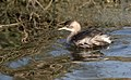 Little Grebe (43415914111).jpg