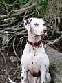Liver-spotted dalmatian.jpg
