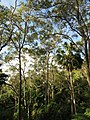 Livistona australis9139812741 044042d1af o.jpg