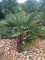 Livistona chinensis - kew 1.jpg