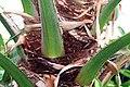 Livistona chinensis 7zz.jpg