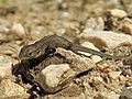 Lizard (20970714376).jpg