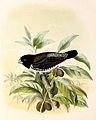 Lonchura cucullata 1869.jpg