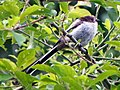 Long-tailed tit (Aegithalos caudatus) juv. (9254117291).jpg
