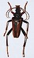 Longhorn Beetle (Mastododera lateralis) (8562632272).jpg