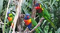 Lorikeets -Nahsville Zoo -two species-8a.jpg