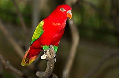 https://upload.wikimedia.org/wikipedia/commons/thumb/8/88/Lorius_garrulus_-Kuala_Lumpur_Bird_Park%2C_Malaysia-8a.jpg/240px-Lorius_garrulus_-Kuala_Lumpur_Bird_Park%2C_Malaysia-8a.jpg