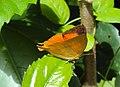 Loxura atymnus - Yamfly 12.JPG