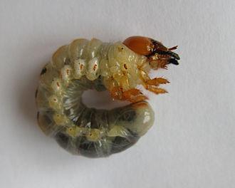 Lucanus cervus - Mature larva
