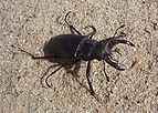 Lucanus cervus male 2008 G1.jpg
