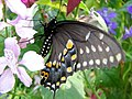 Lunch For Butterfly (187693946).jpg